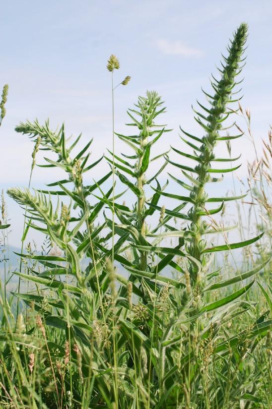 Echium italicum subsp. italicum 20