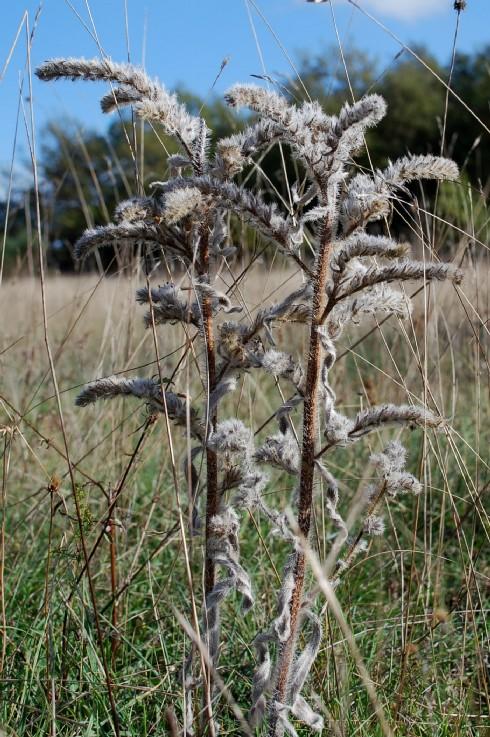 Echium italicum subsp. italicum 6