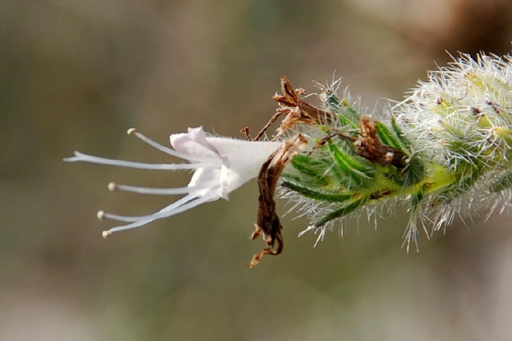 Echium italicum subsp. italicum 7