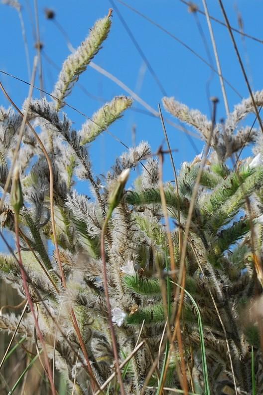 Echium italicum subsp. italicum 9