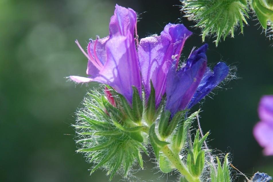 Echium plantagineum 2