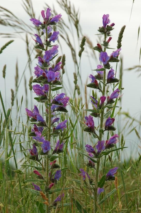 Echium plantagineum 7