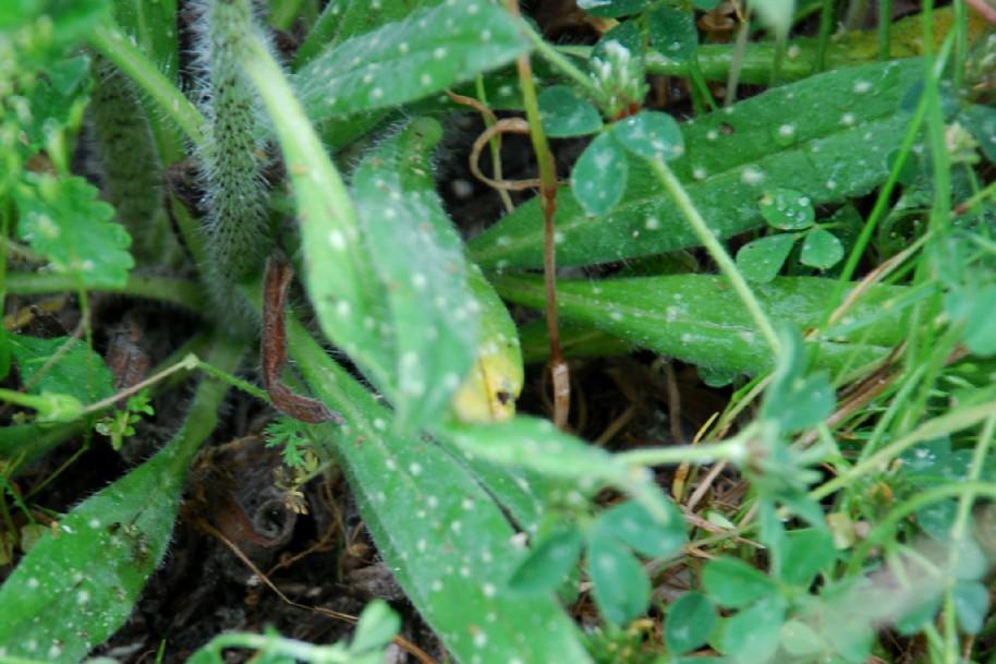 Echium plantagineum 8