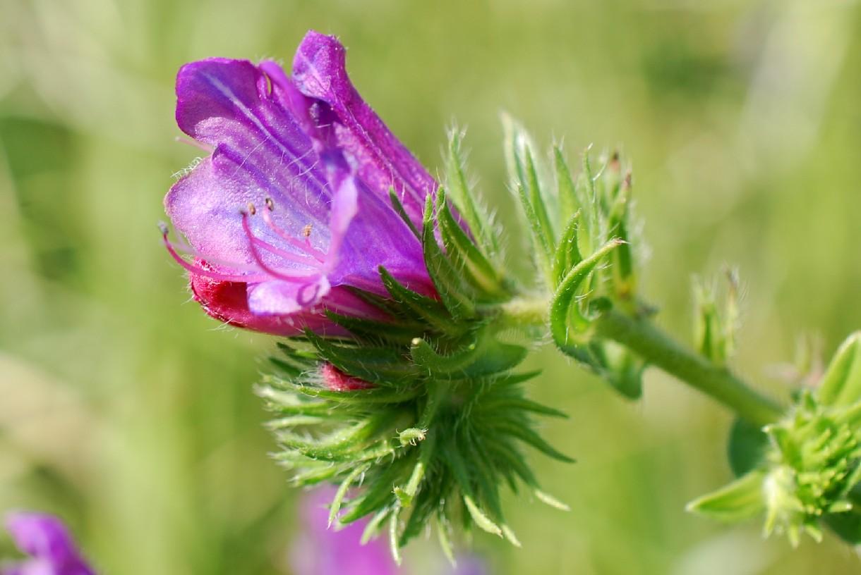 Echium plantagineum 9