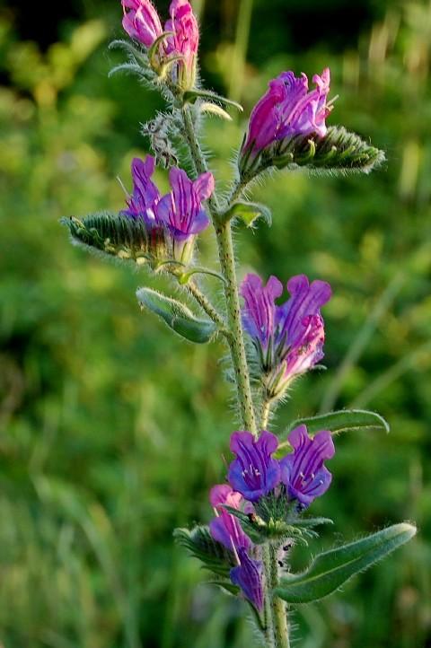 Echium vulgare subsp. vulgare