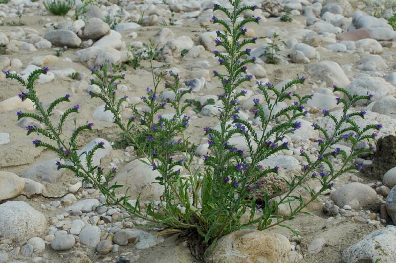 Echium vulgare subsp. vulgare 10