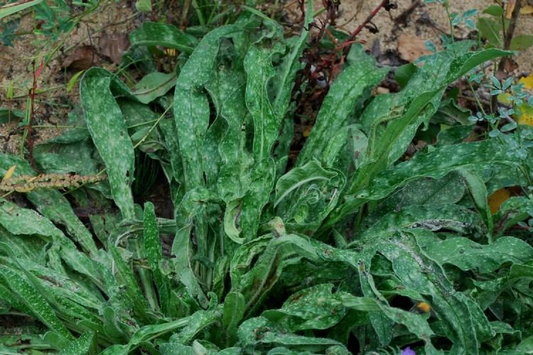 Echium vulgare subsp. vulgare 16
