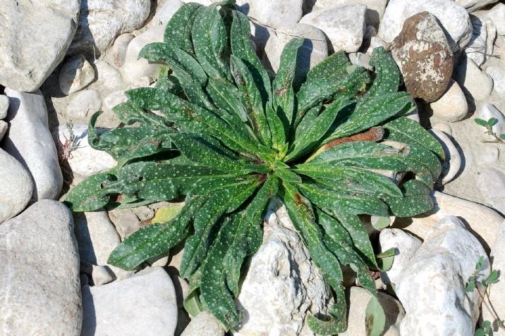 Echium vulgare subsp. vulgare 18