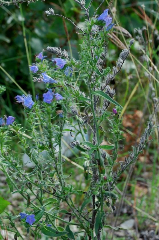 Echium vulgare subsp. vulgare 2