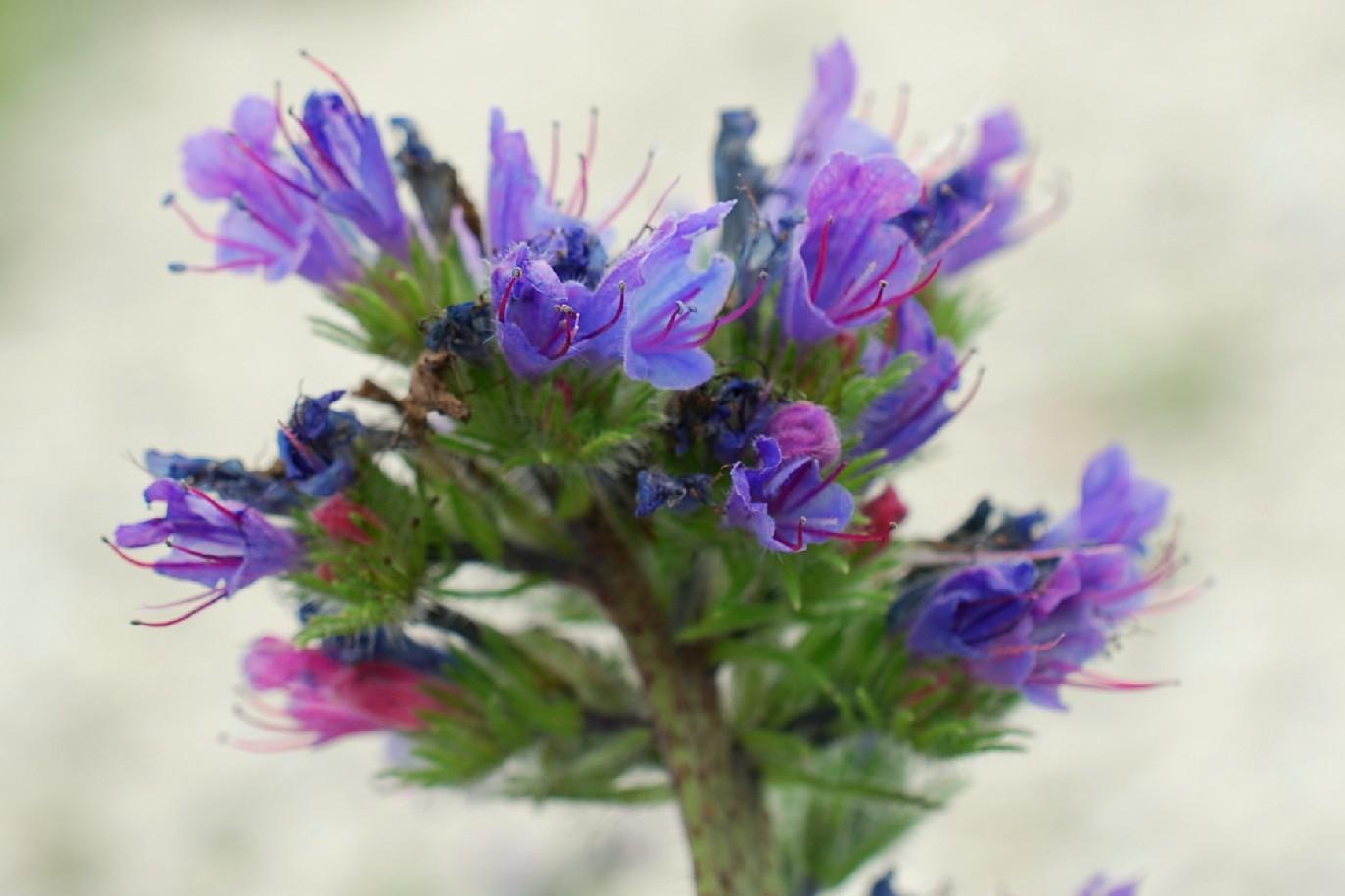 Echium vulgare subsp. vulgare 23