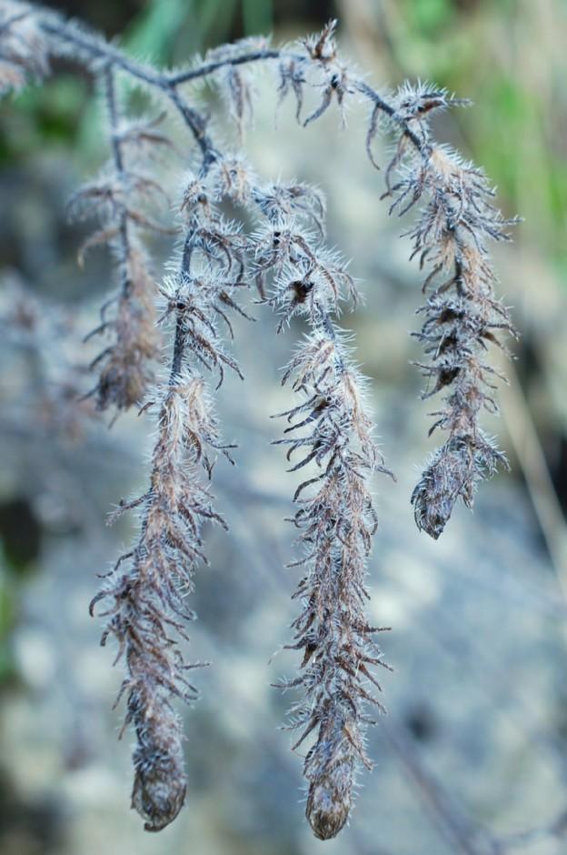Echium vulgare subsp. vulgare 26