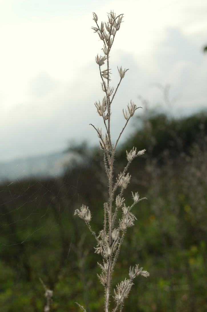 Echium vulgare subsp. vulgare 4
