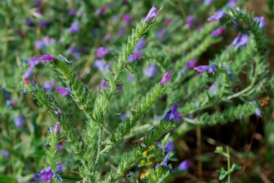 Echium vulgare subsp. vulgare 8