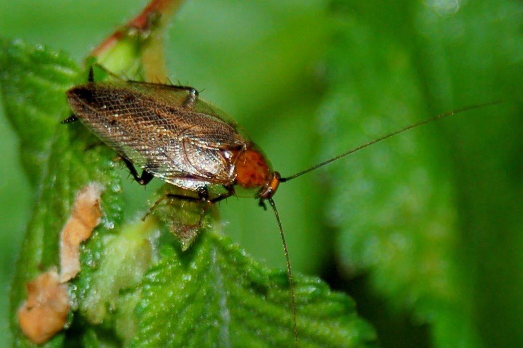 Ectobius sp. - Blattellidae