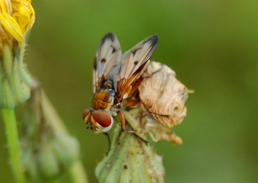 Ectophasia sp.  - Tachinidae