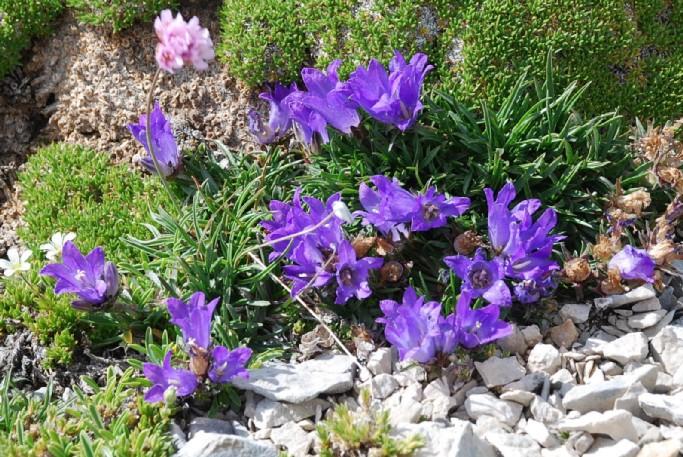 Edraianthus graminifolius subsp. graminifolius