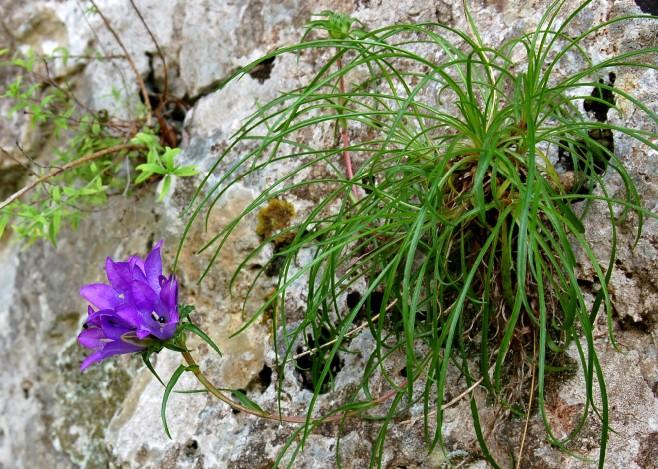 Edraianthus graminifolius subsp. graminifolius 2