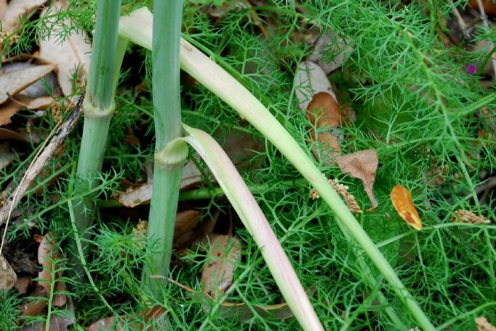 Elaeoselinum asclepium subsp. asclepium 10