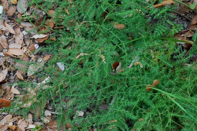 Elaeoselinum asclepium subsp. asclepium 11