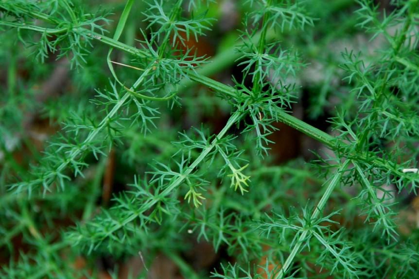 Elaeoselinum asclepium subsp. asclepium 13