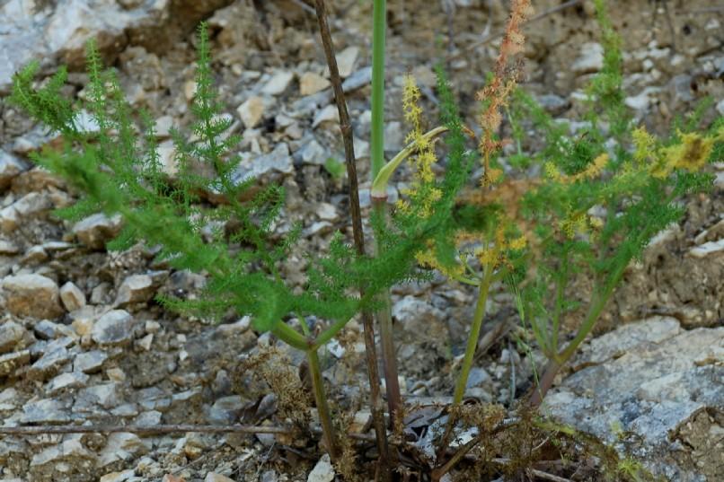 Elaeoselinum asclepium subsp. asclepium 15