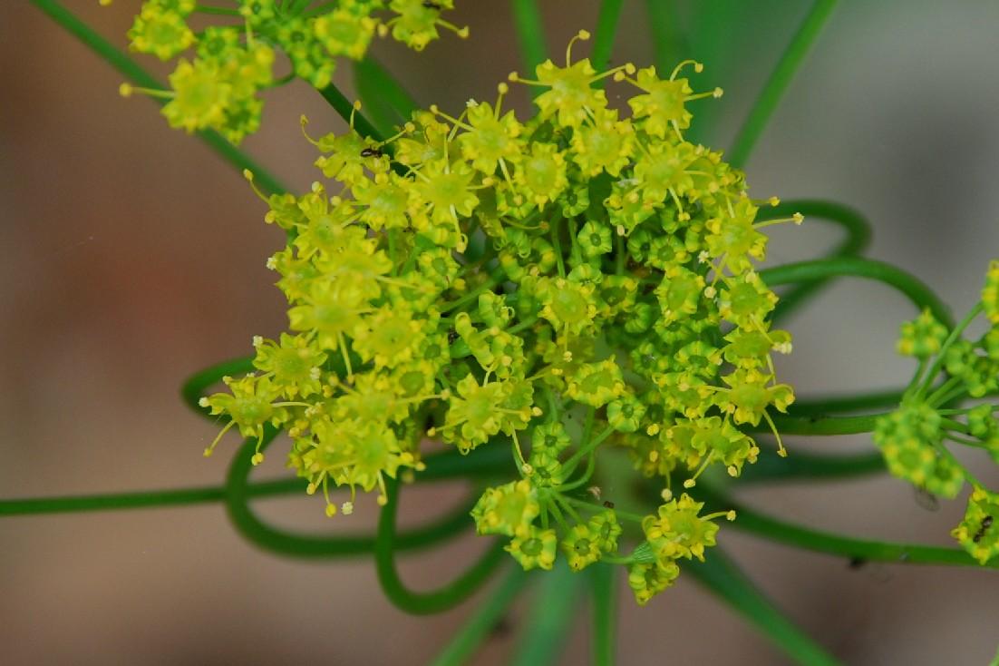 Elaeoselinum asclepium subsp. asclepium
