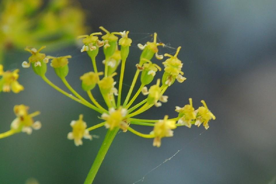 Elaeoselinum asclepium subsp. asclepium 3
