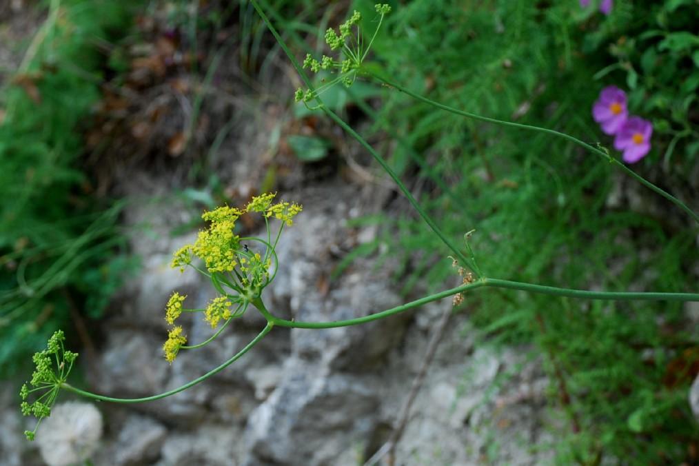 Elaeoselinum asclepium subsp. asclepium 7