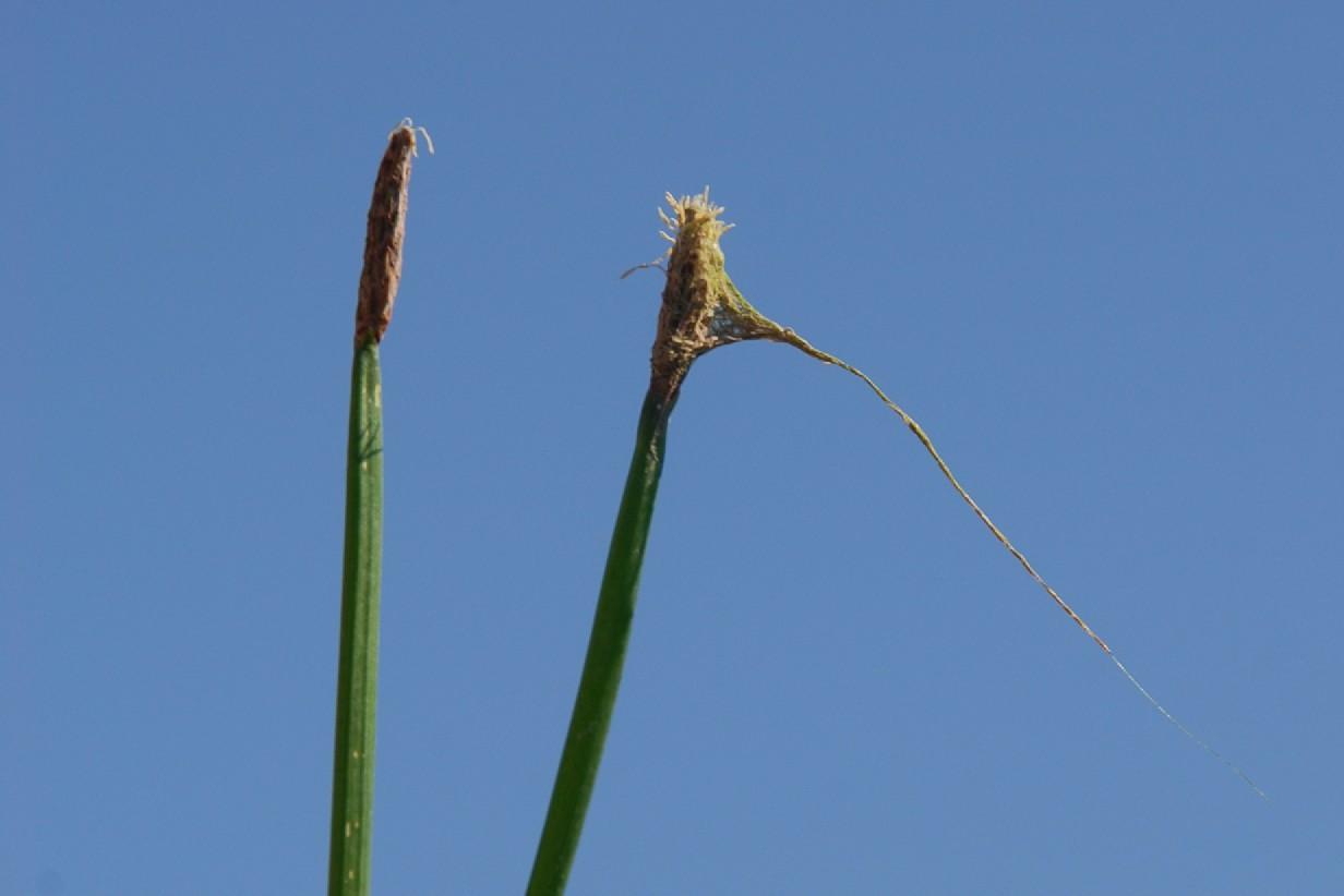 Eleocharis palustris 2