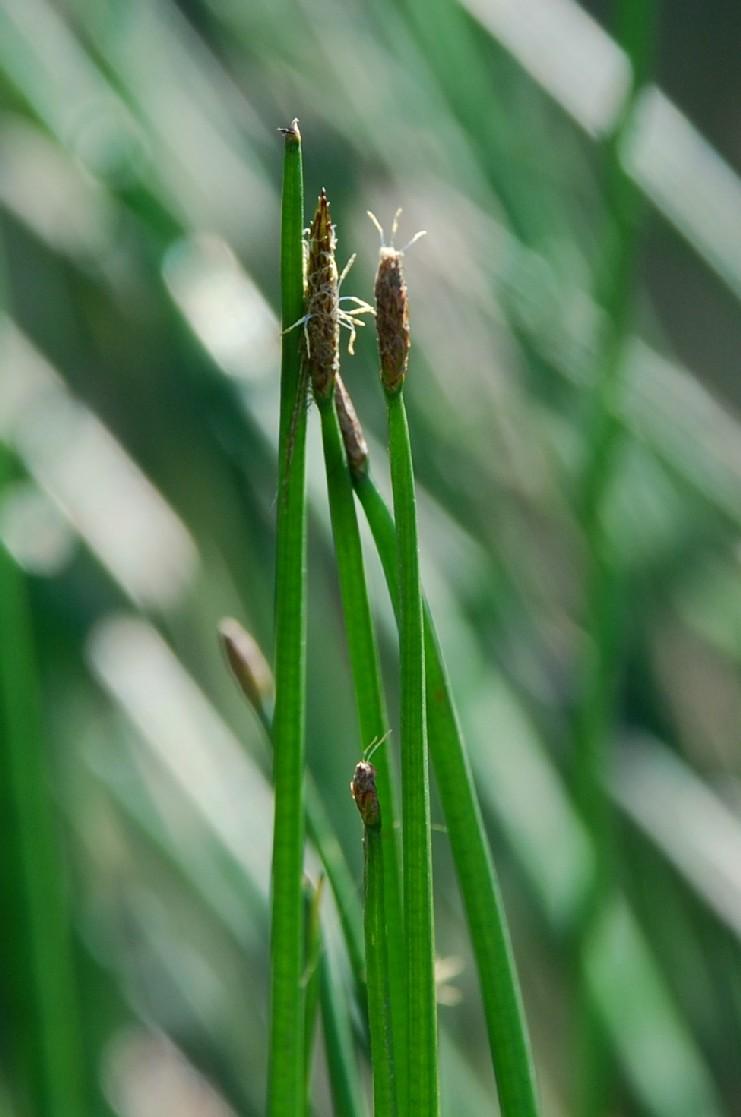 Eleocharis palustris 4