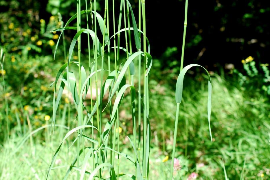 Elymus caninus subsp. caninus 13