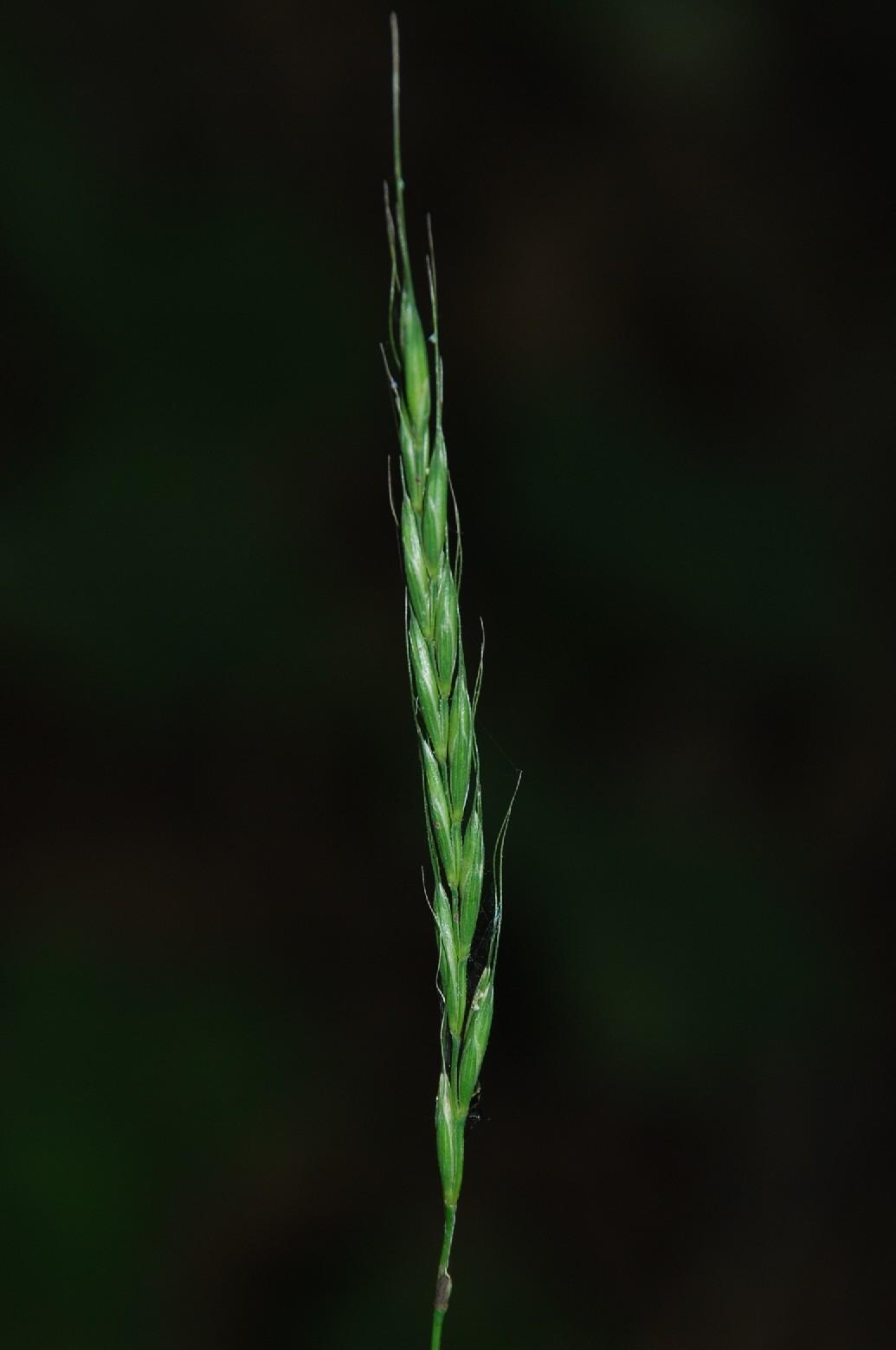 Elymus caninus subsp. caninus 4
