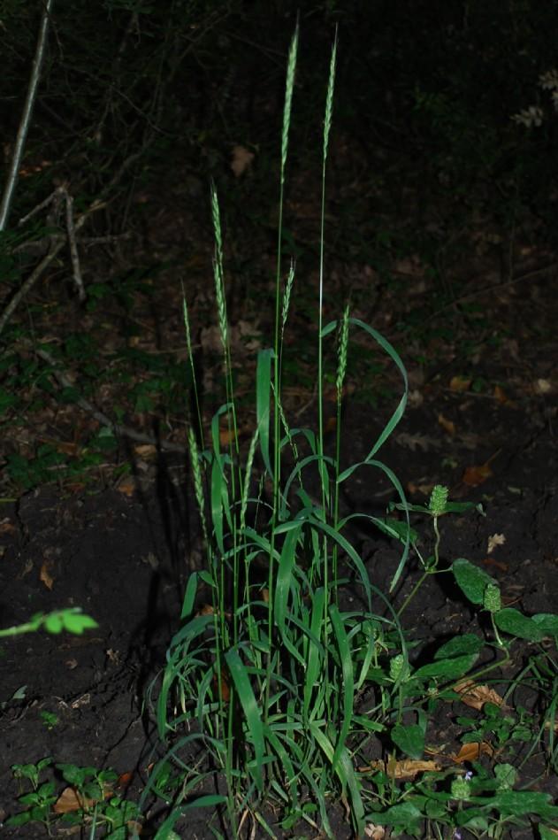 Elymus caninus subsp. caninus 6