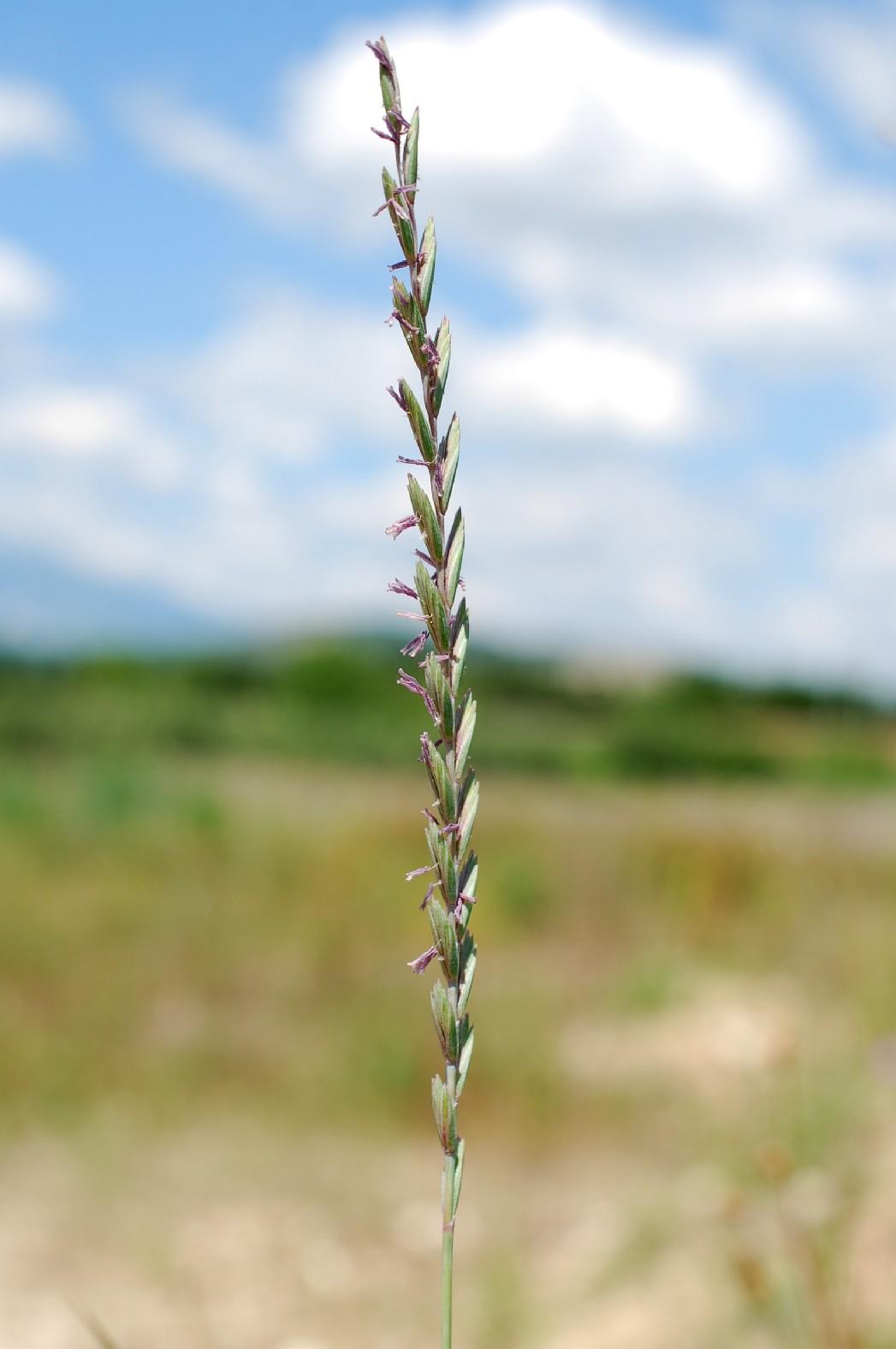 Elytrigia repens subsp. repens 11