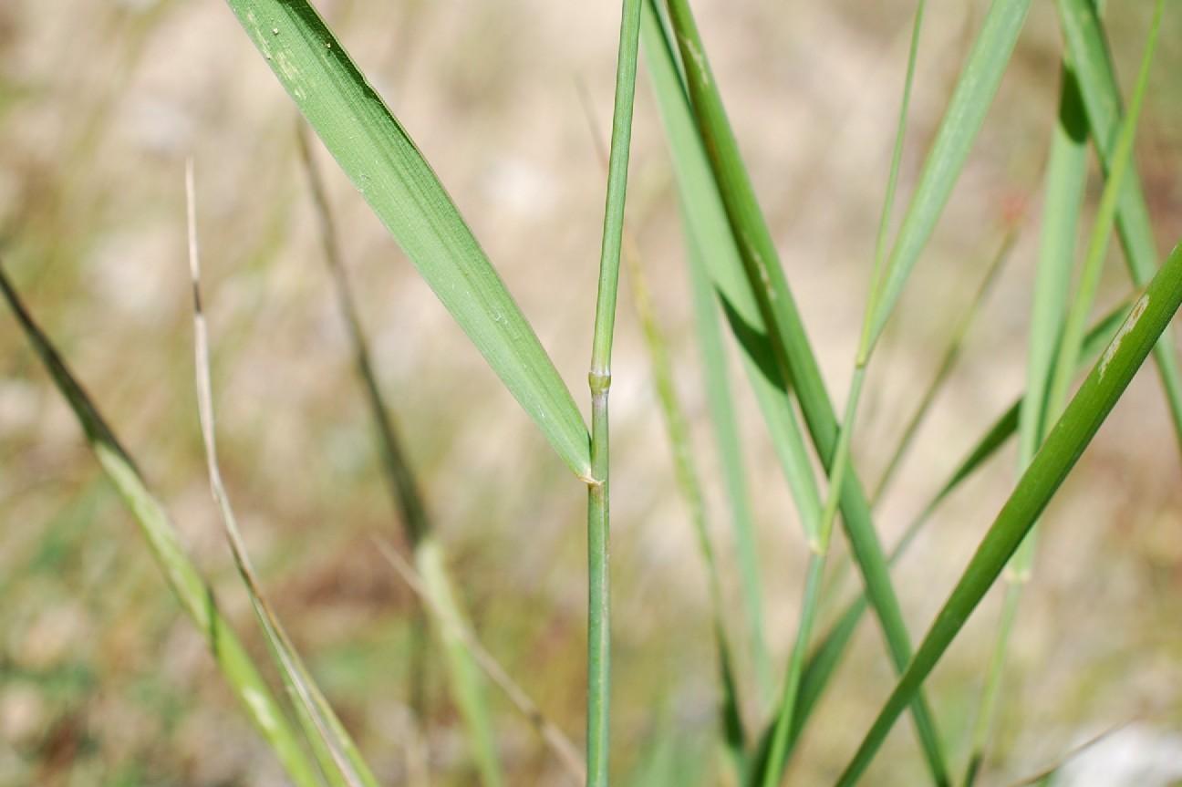 Elytrigia repens subsp. repens 12
