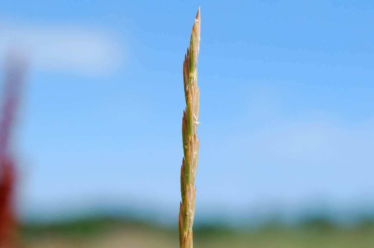 Elytrigia repens subsp. repens 14