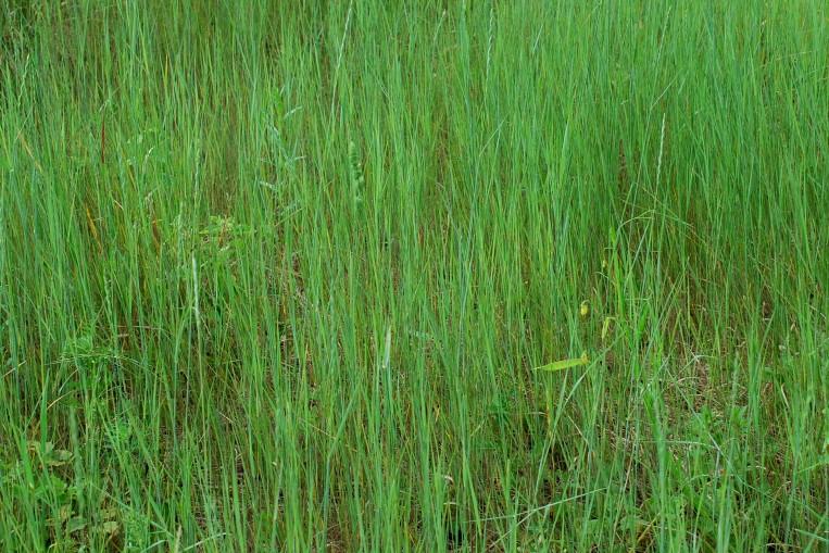 Elytrigia repens subsp. repens 5