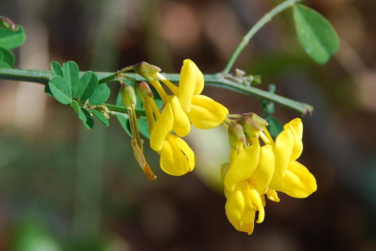Emerus major subsp. emeroides