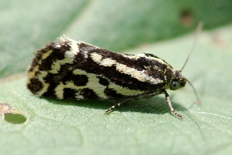 Emmelia trabealis - Noctuidae
