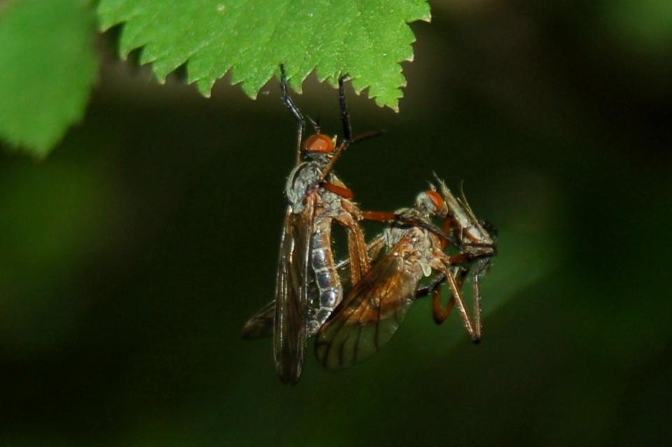 Empis sp. - Empididae