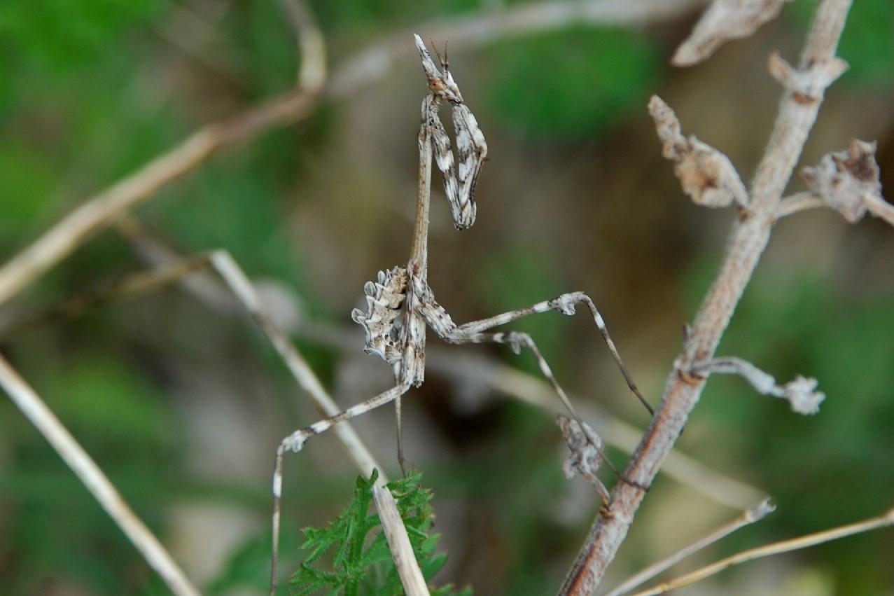 Empusa fasciata - Empusidae