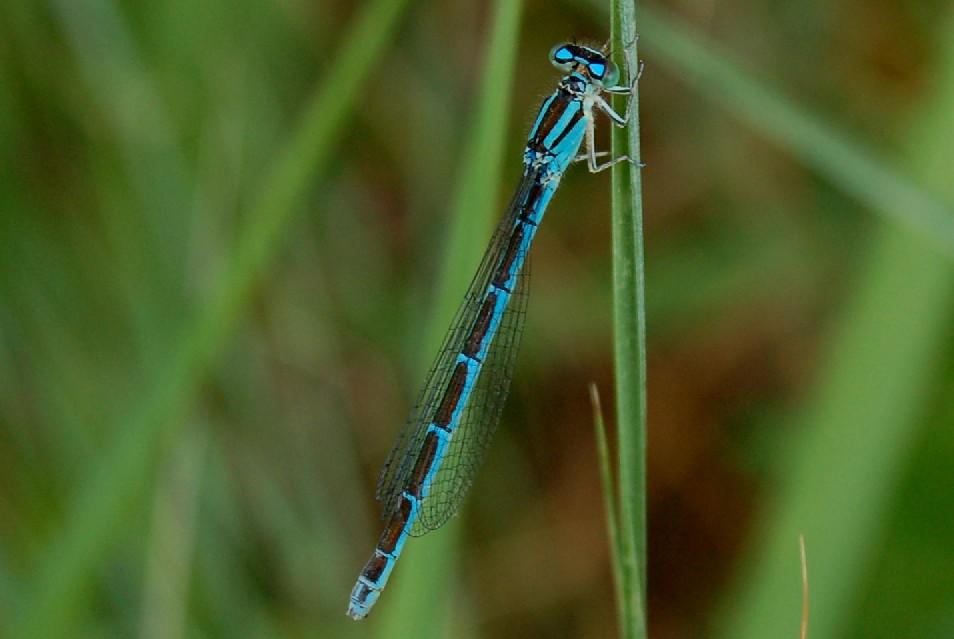 Enallagma cyathigerum (femmina) - Coenagrionidae