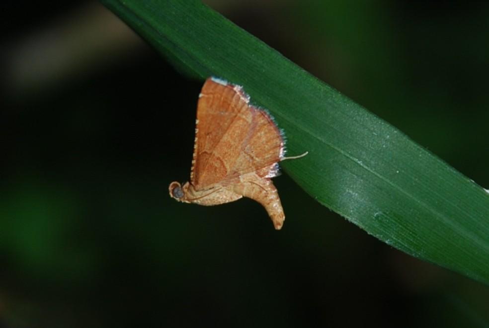 Endotricha flammealis - Pyralidae