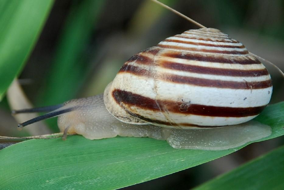 Eobania vermiculata - Helicidae