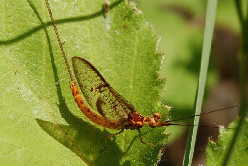 Ephemera glaucops - Ephemeridae