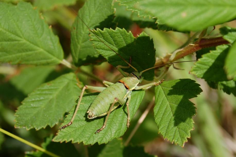 Ephippiger sp. - Bradyporidae