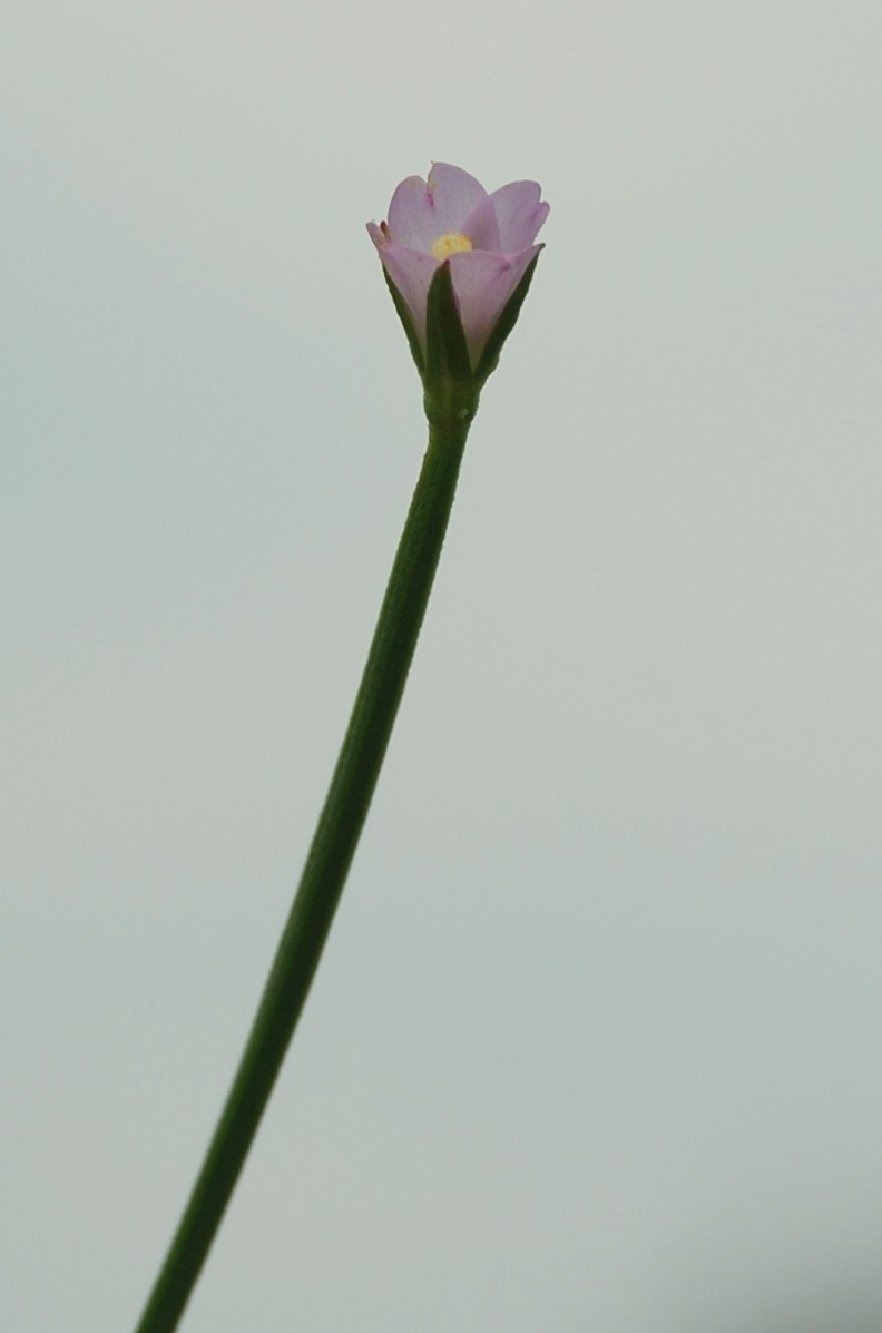 Epilobium tetragonum subsp. tetragonum 22