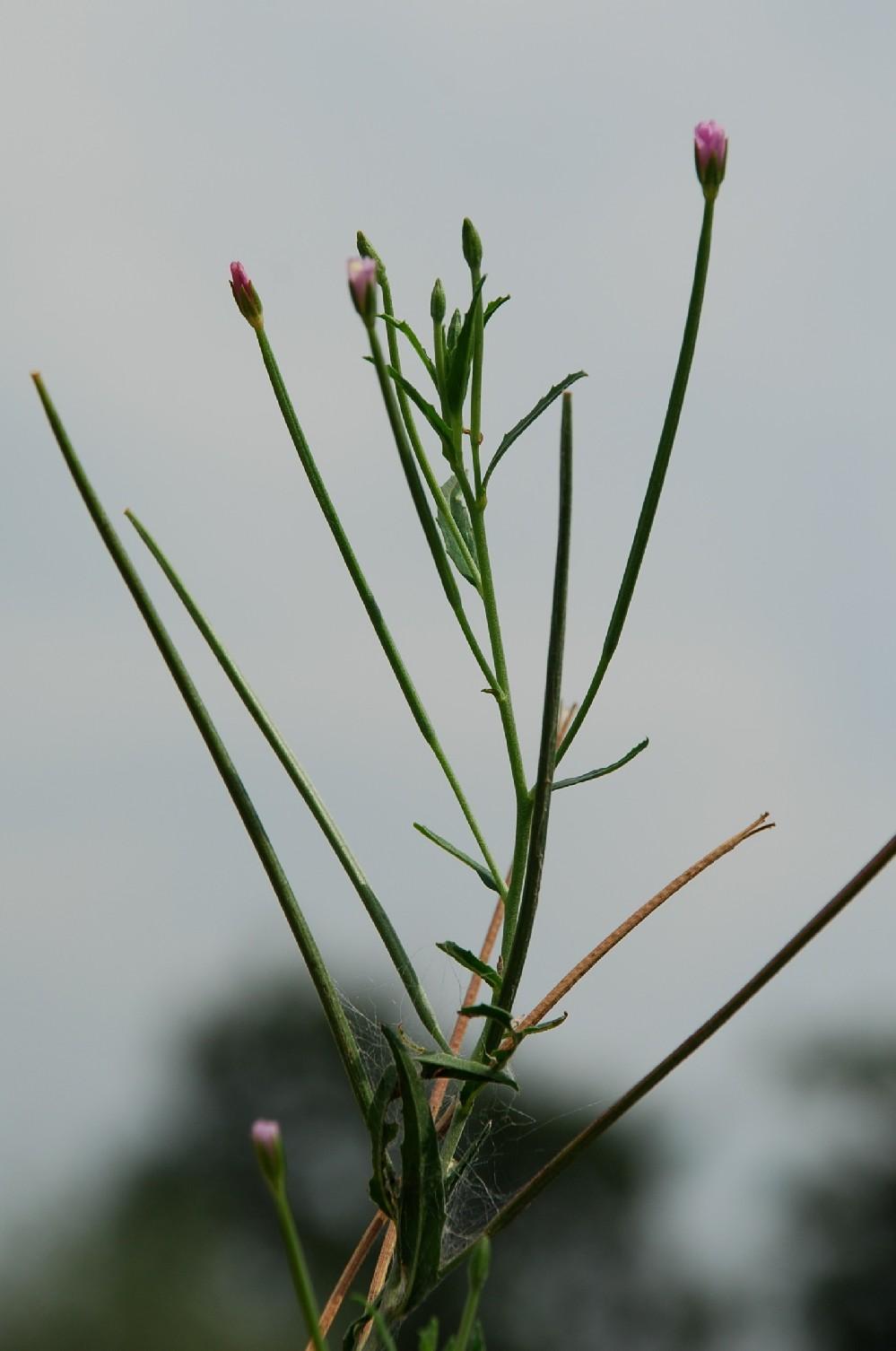 Epilobium tetragonum subsp. tetragonum 23