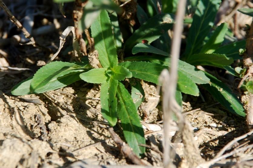 Epilobium tetragonum subsp. tetragonum 33