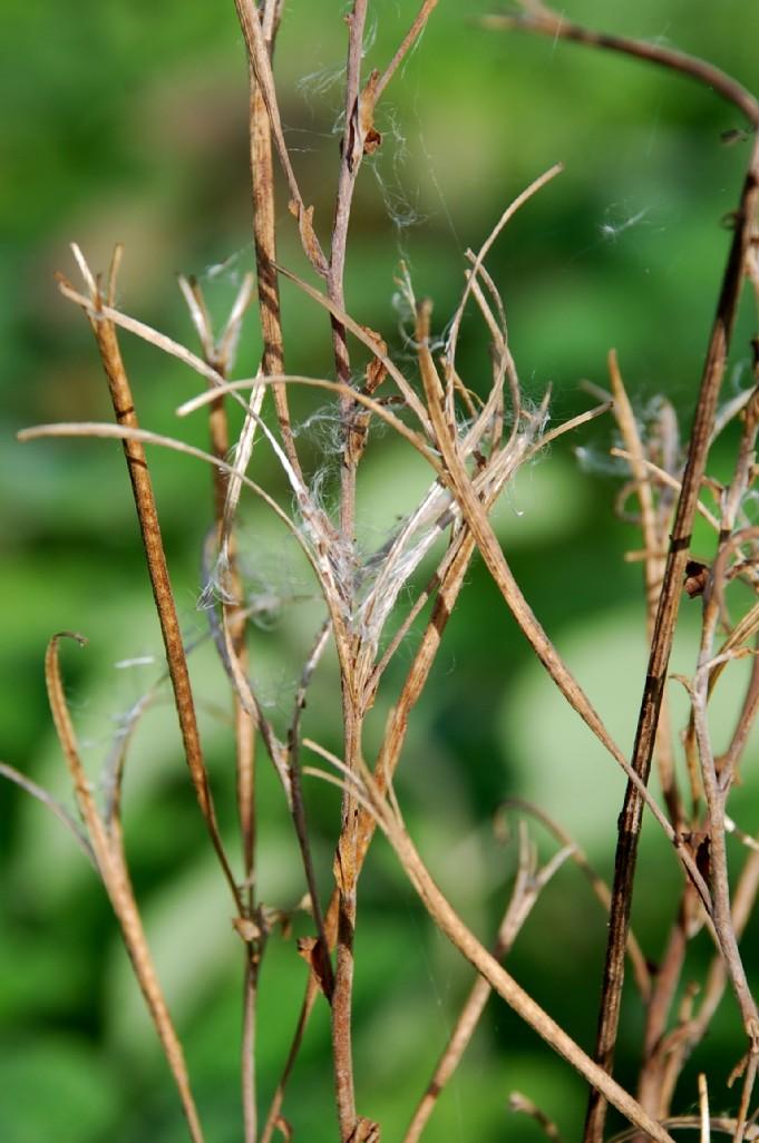 Epilobium tetragonum subsp. tournefortii 10